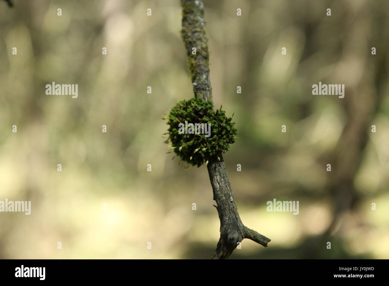 Moss growing on trees out in the woods. - Stock Image