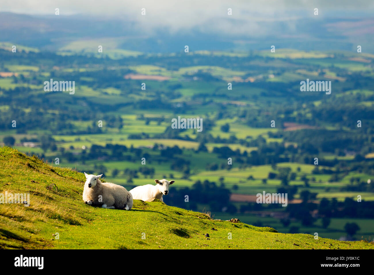 Two ewe sheep resting on Moel Famau and the Clwydian Range overlooking the Vale of Clwyd and the beautiful Welsh landscape below the hills, Wales, UK - Stock Image