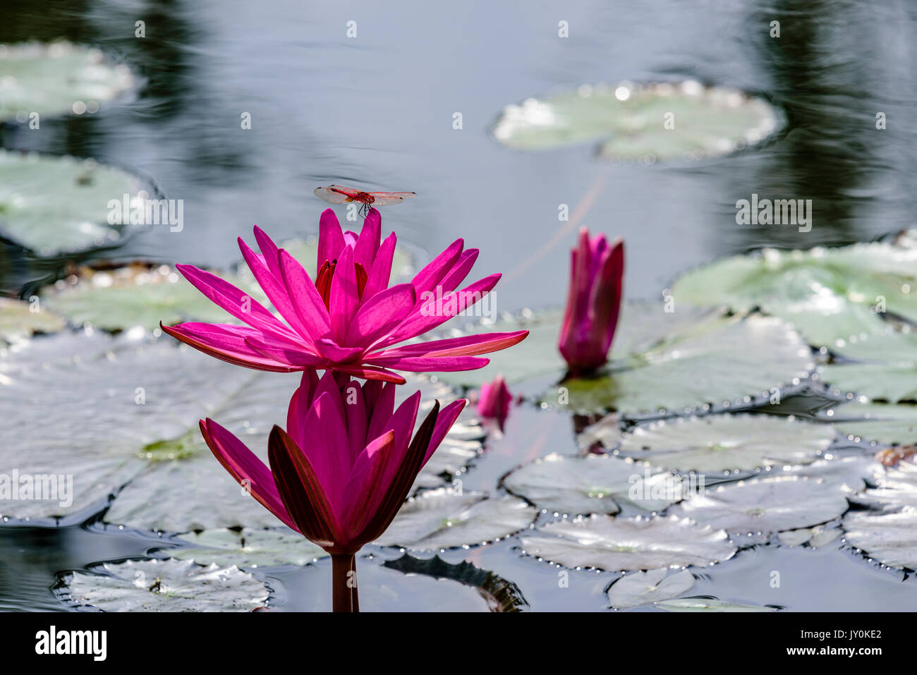 Three Waterlilies At Various Stages of Blooming; Life Ecosystem At A Pond - Stock Image