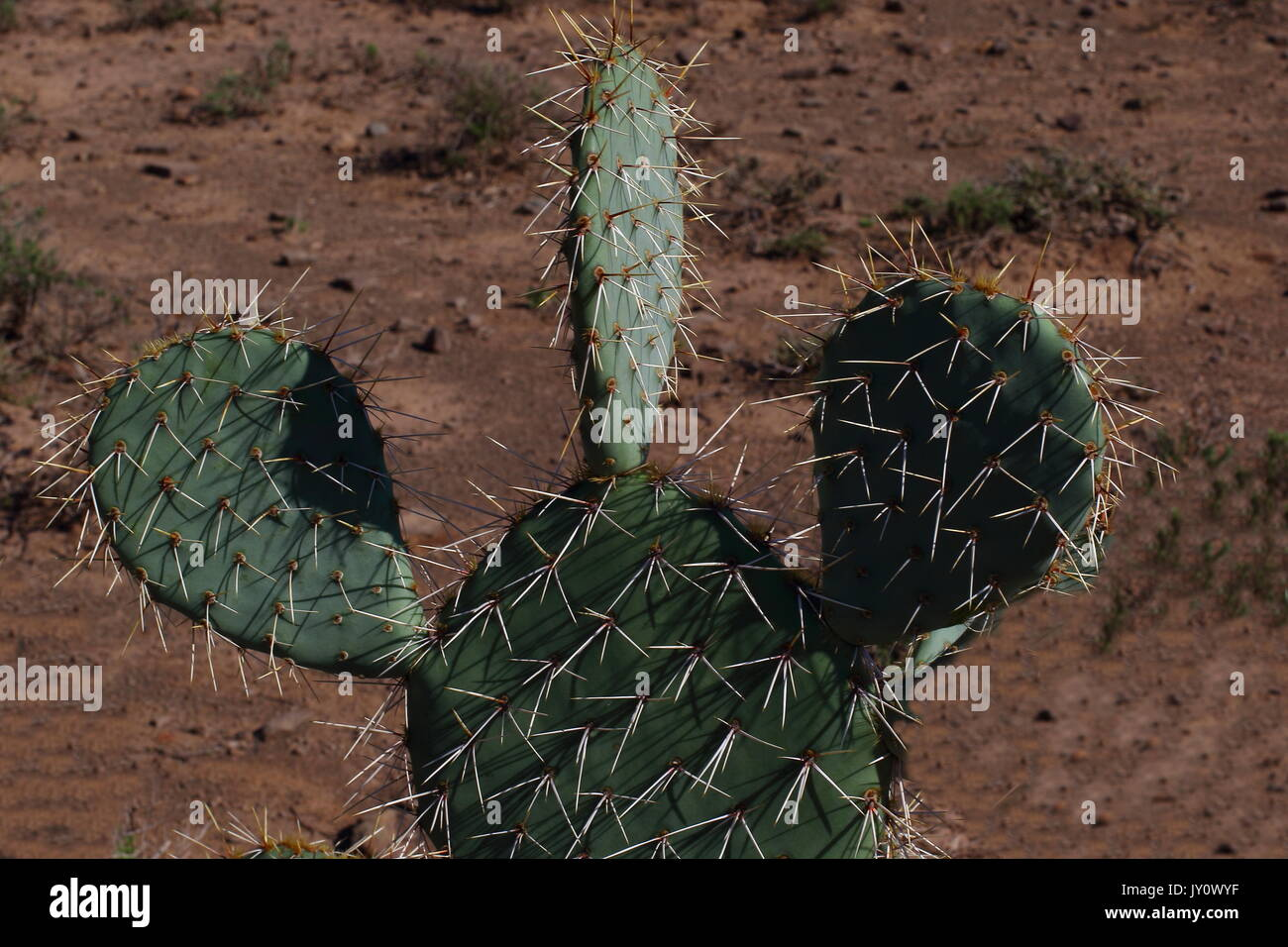 Green cactus bristling with sharp white thorns in landscape format with copy space - Stock Image