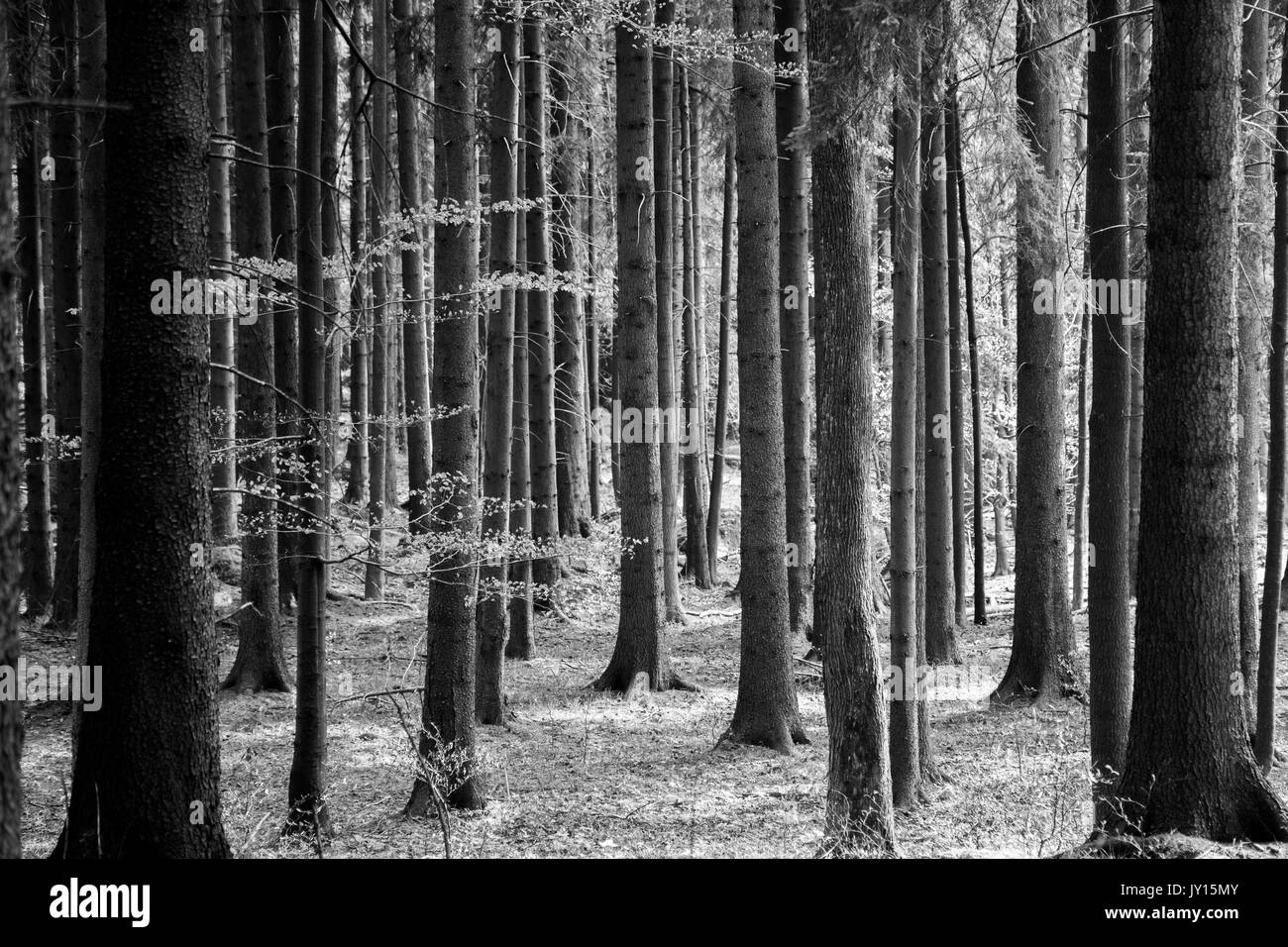 Scary forest of pines Stock Photo