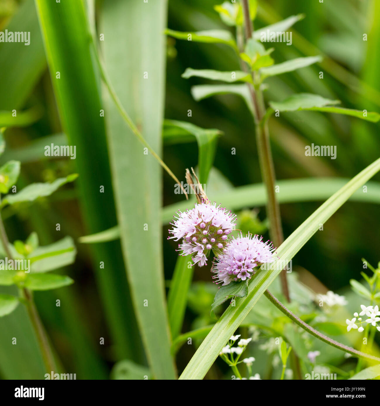 Watermint flowers, Mentha aquatica, growing in summer, Hampshire, United Kingdom Stock Photo