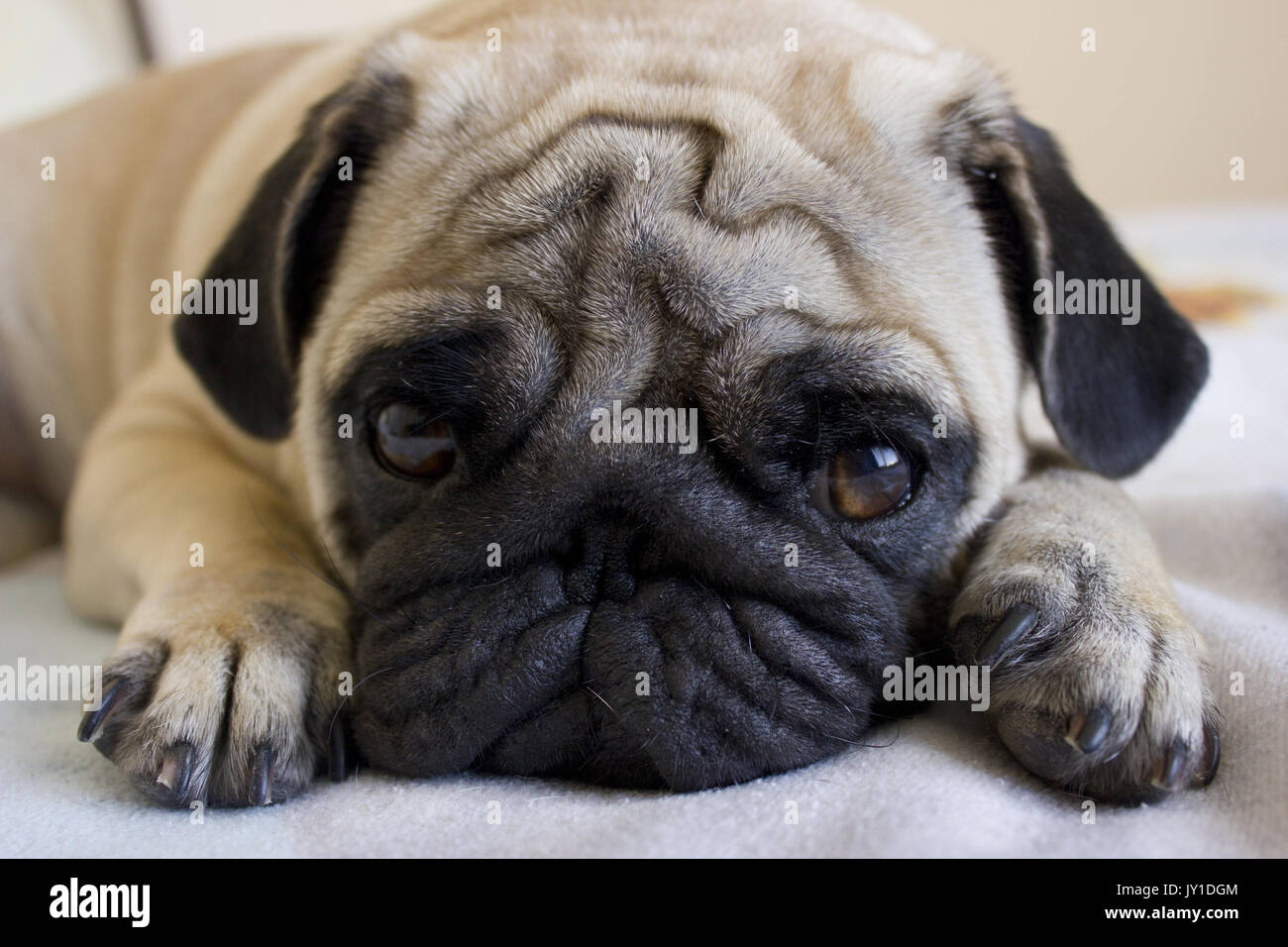 Sad puppy pug looking with big eyes - Stock Image
