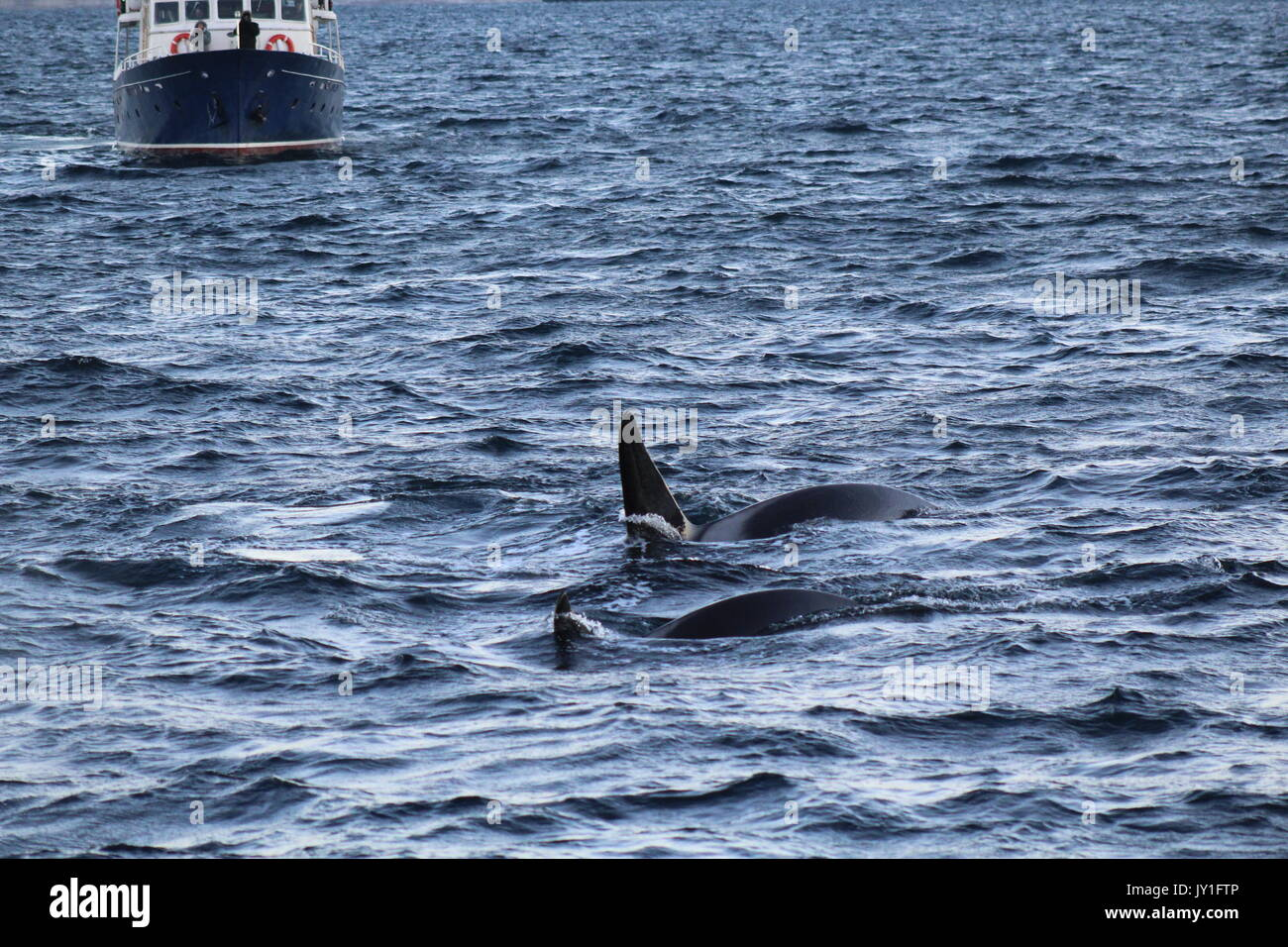 a small whale watching boat by orcas in Norway - Stock Image