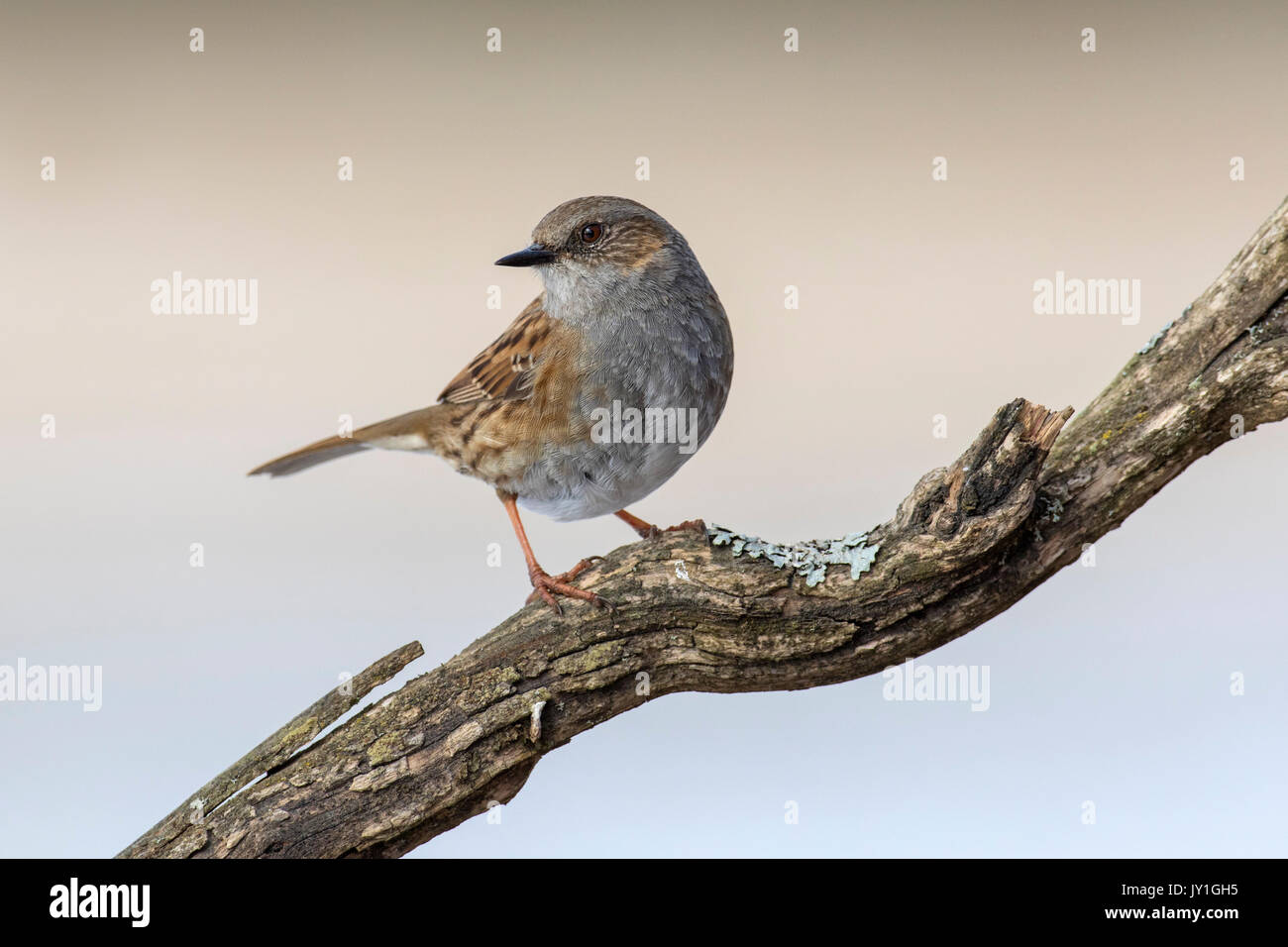 Dunnock / hedge accentor / hedge sparrow / hedge warbler (Prunella modularis) perched in tree - Stock Image