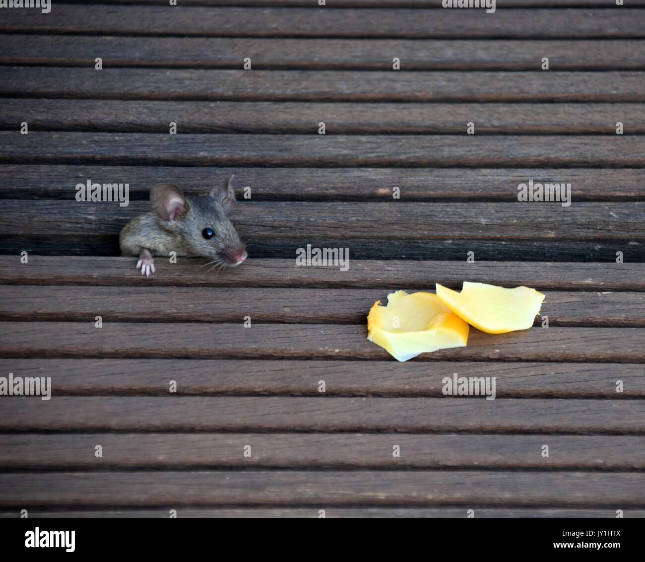 a hungry and curious house mouse with pieces of cheese, mus musculus - Stock Image