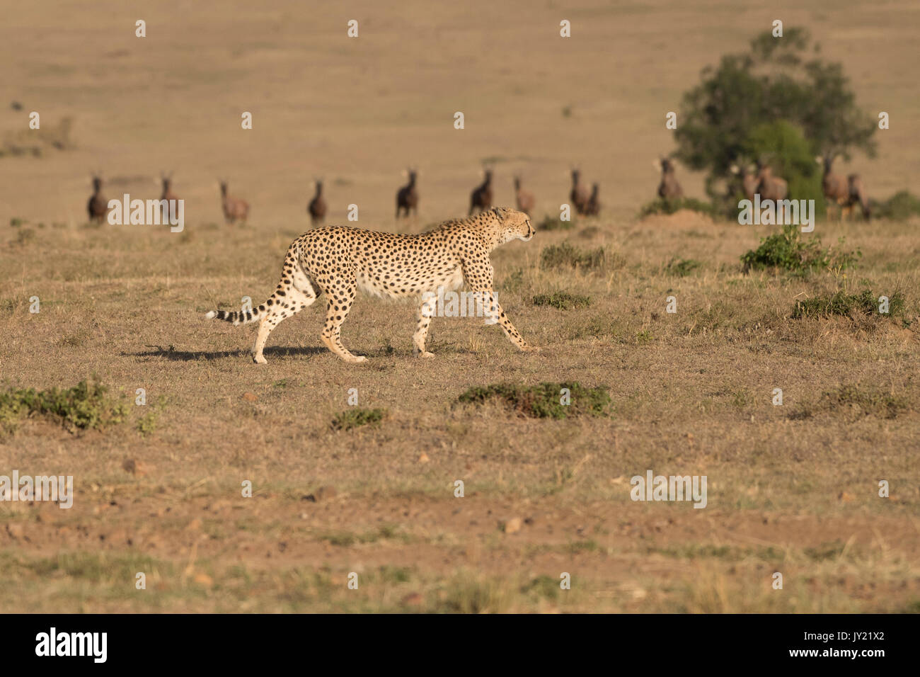 Female cheetah walking past topi antelope staring at her as she goes past in the Masai Mara game reserve in Kenya - Stock Image