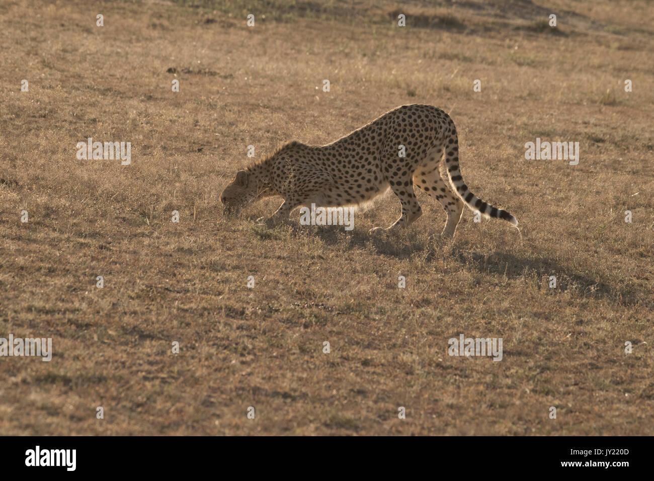 Female cheetah walking in the Masai Mara game reserve in Kenya - Stock Image
