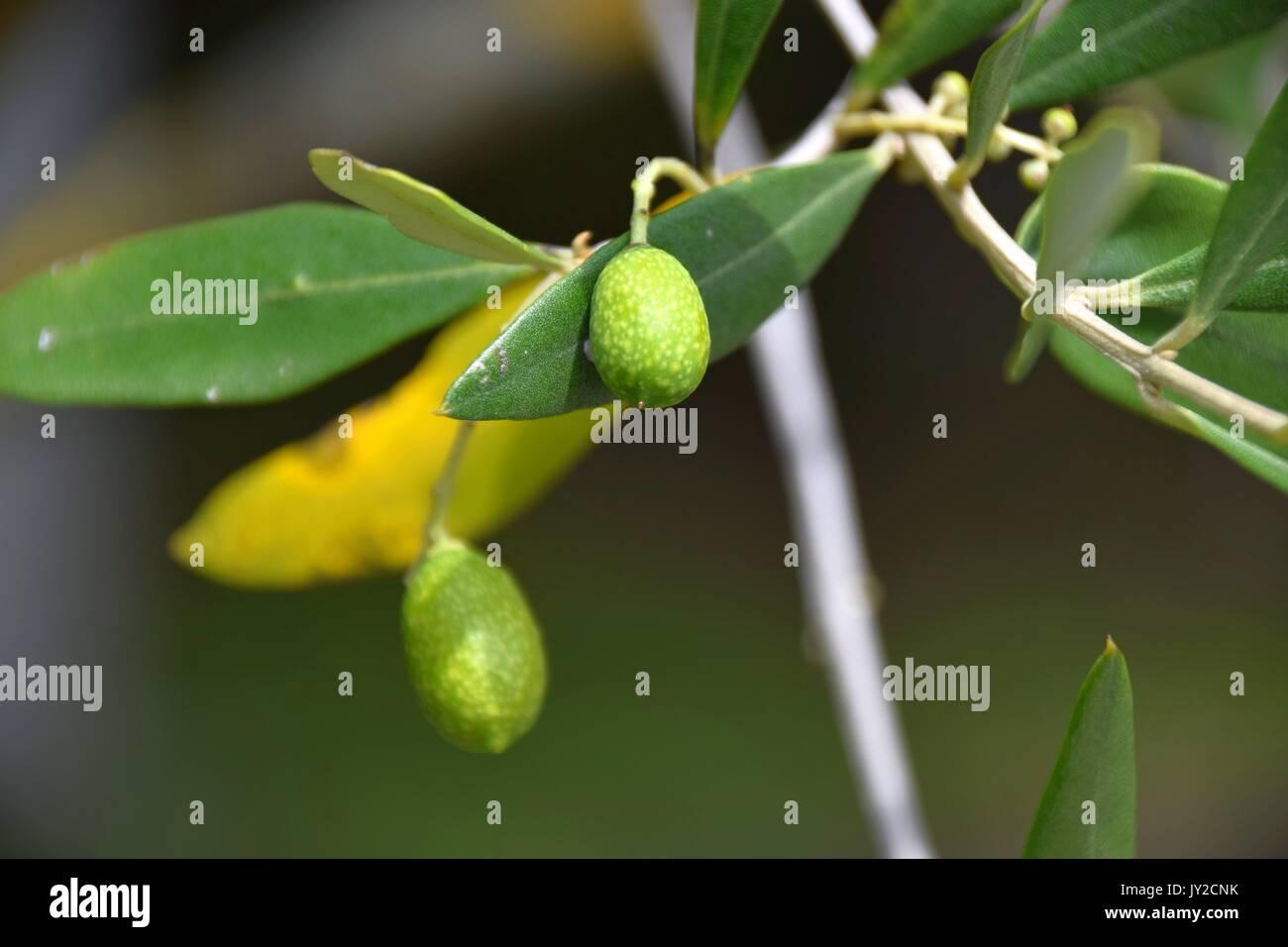 Oleaceae, Olive tree with small olive grove, Olea europaea - Stock Image