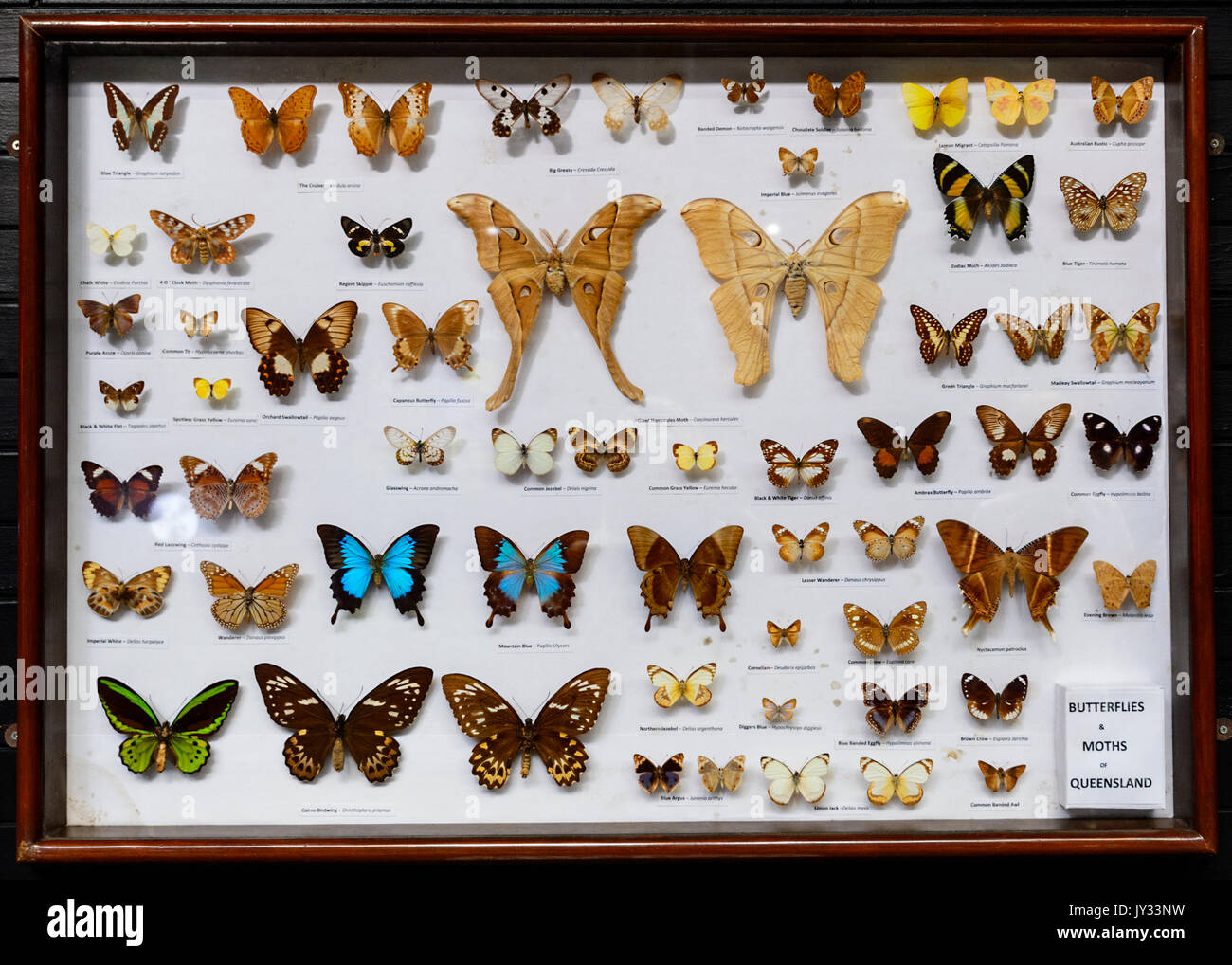 A collection of pinned Australian Butterflies and Moths from Queensland, Daintree Discovery Centre, Cape Tribulation, Far North Queensland, FNQ, QLD,  - Stock Image