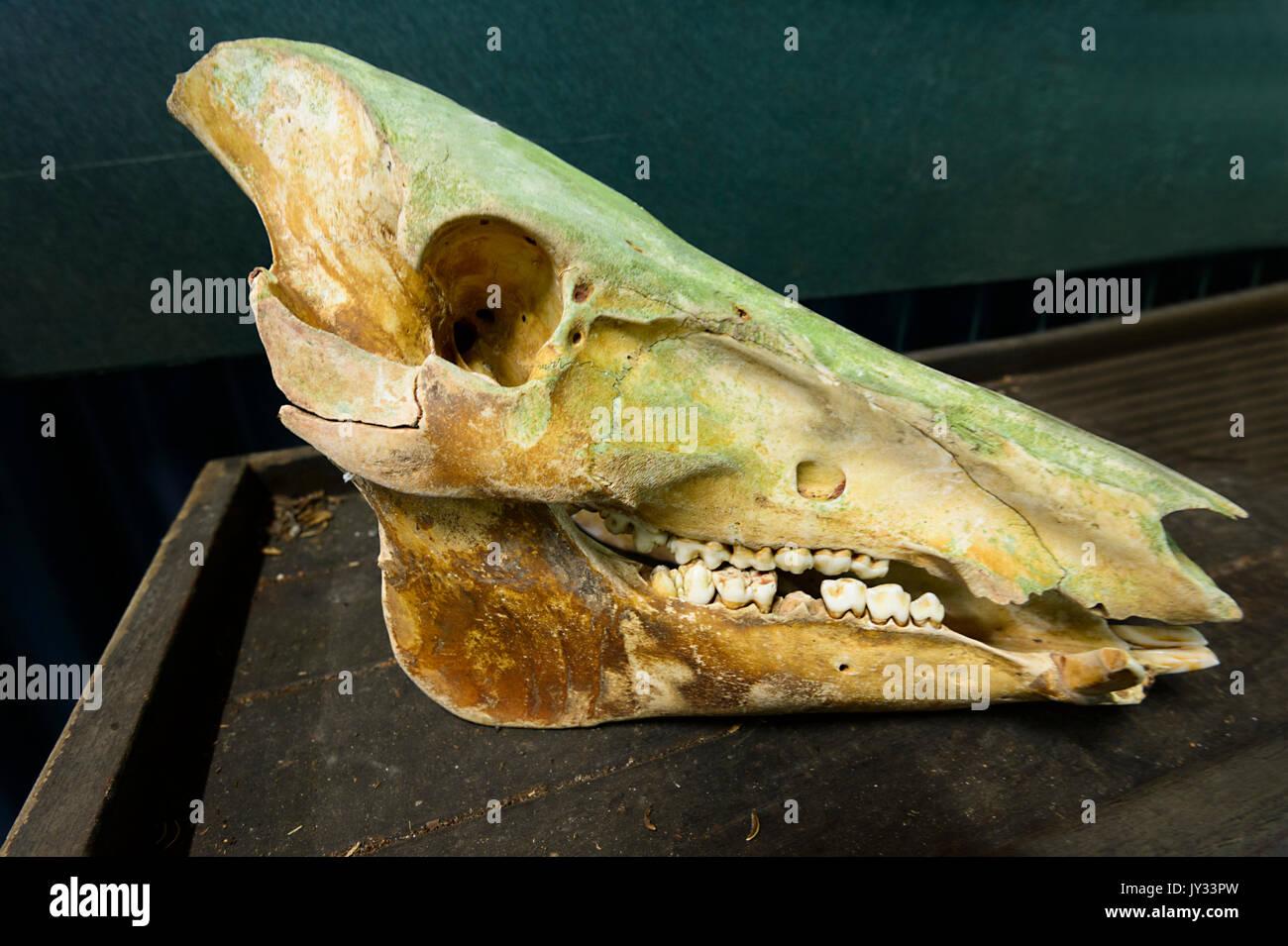 Pig Skeleton Stock Photos & Pig Skeleton Stock Images - Alamy