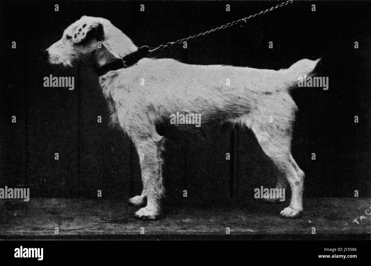 Carlisle Tack, a Fox terrier born in 1884, who was owned by John Russell - Stock Image