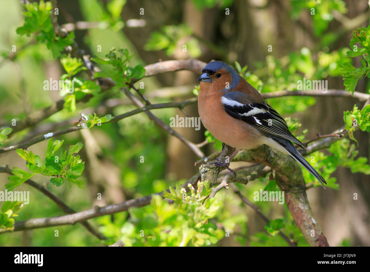Chaffinch perched in a tree close-up - Stock Image