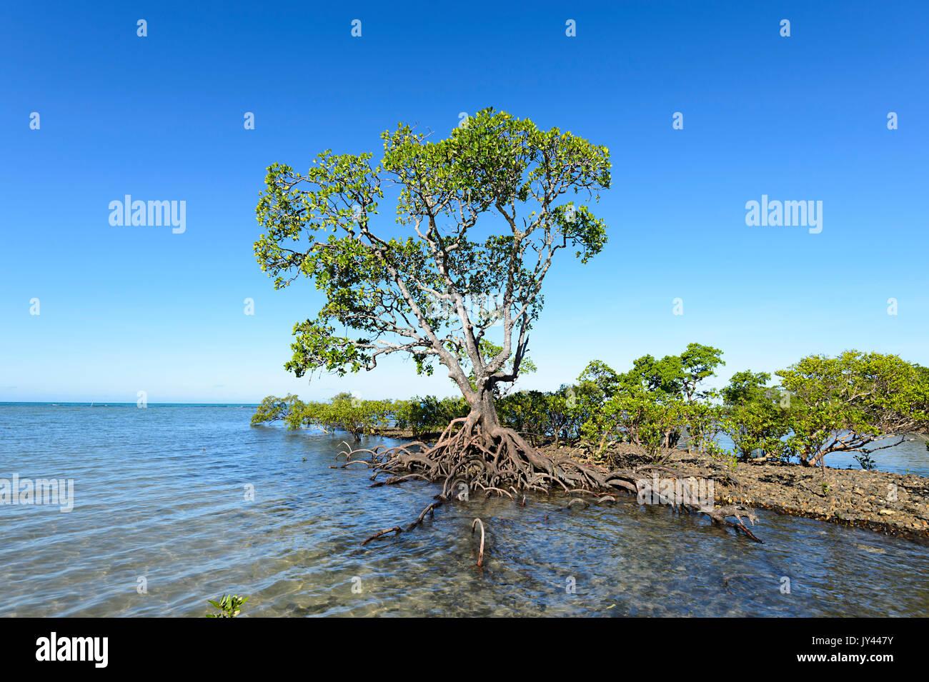 Single Mangrove tree, Myall Beach, Cape Tribulation, Daintree National Park, Far North Queensland, FNQ, QLD, Australia - Stock Image