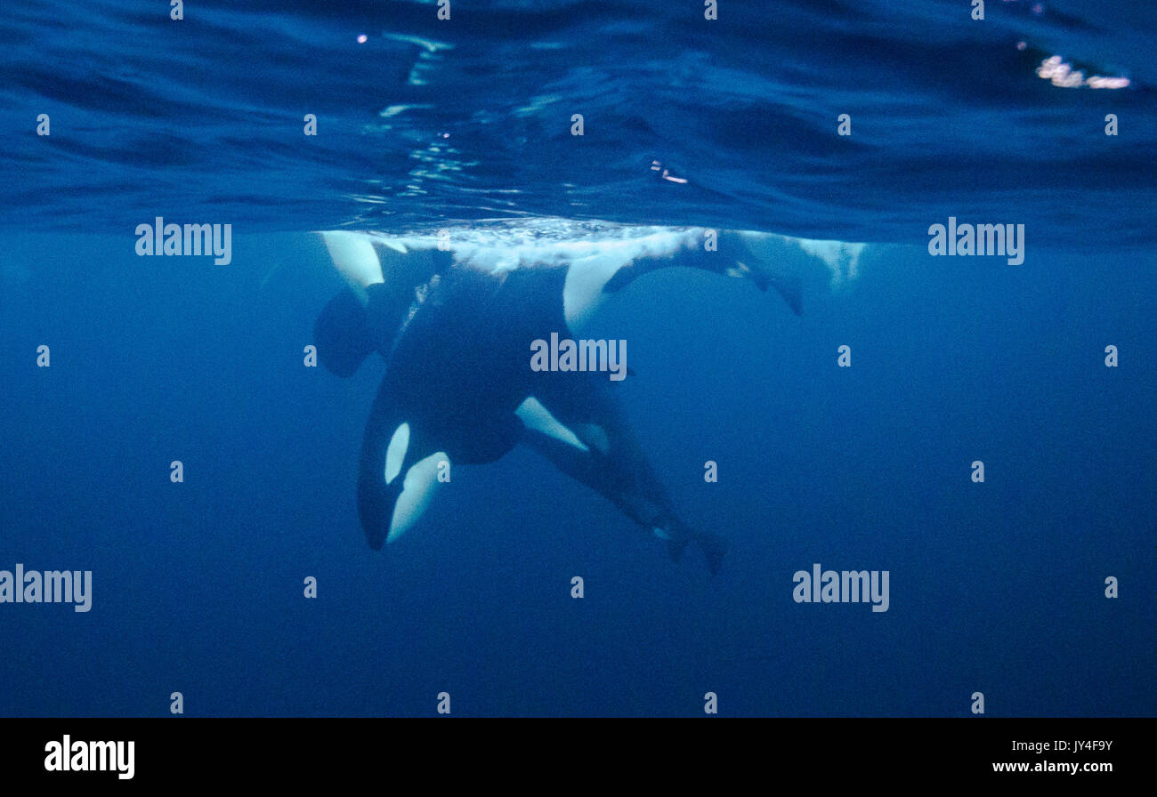 Underwater view of a pod of orcas diving at the surface, Andenes, Norway. - Stock Image