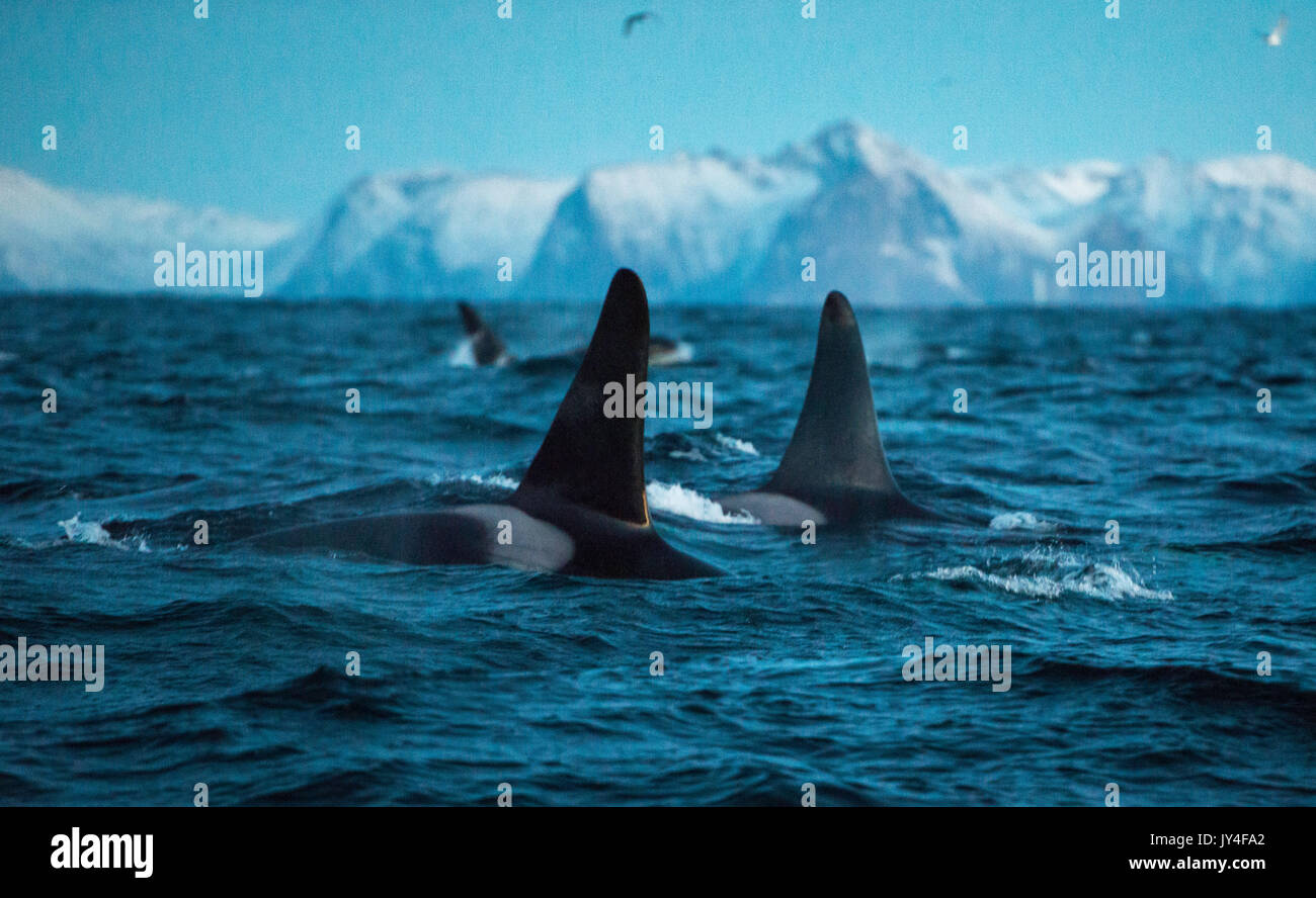 Surface view of the dorsal fins of two male orcas swimming with snow capped mountains in the back ground, Andenes, Norway. - Stock Image