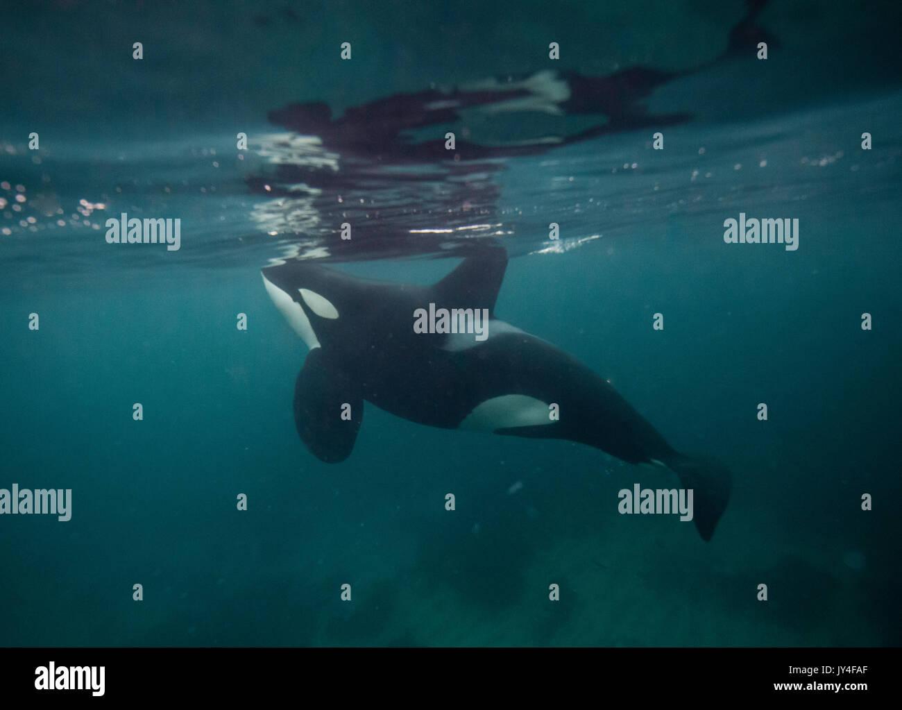 Male orca feeding on herring, Andenes, Norway. - Stock Image