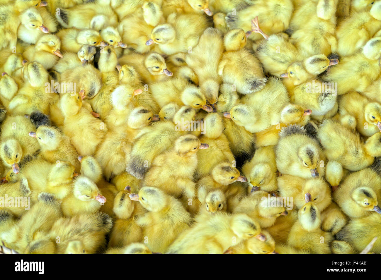 Group of yellow ducklings hatched in the nest is cute and lovely - Stock Image