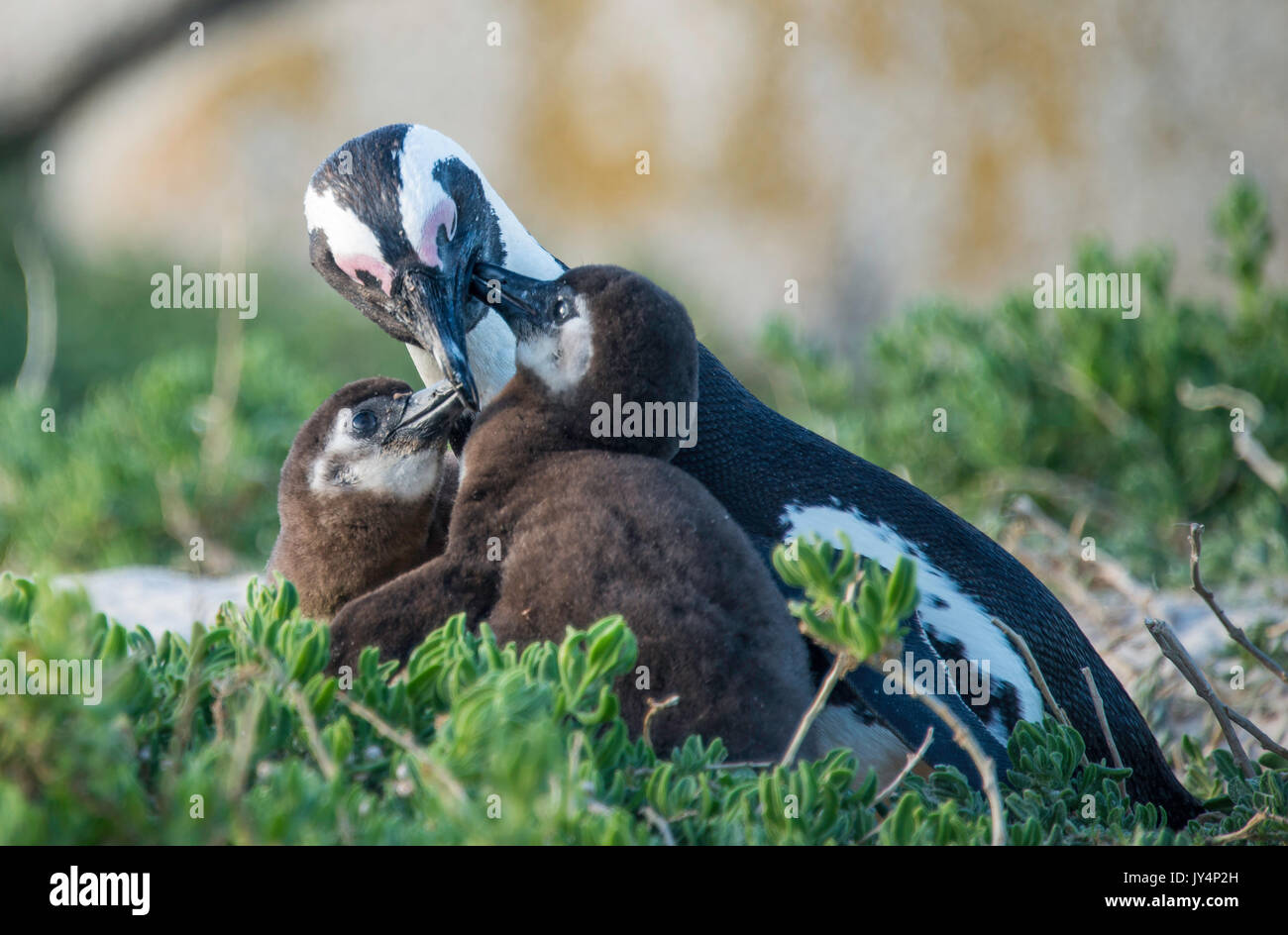 Mother African penguin feeding her chicks, Boulders Beach, Cape Town, South Africa. Stock Photo