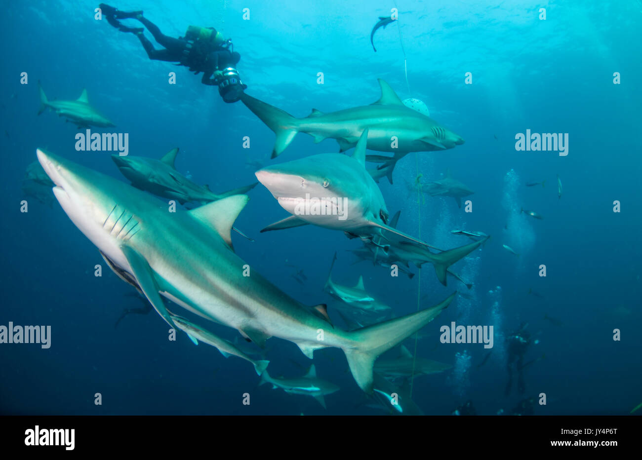 Underwater view of a large number of oceanic black tips sharks, Aliwal Shoal, South Africa. - Stock Image