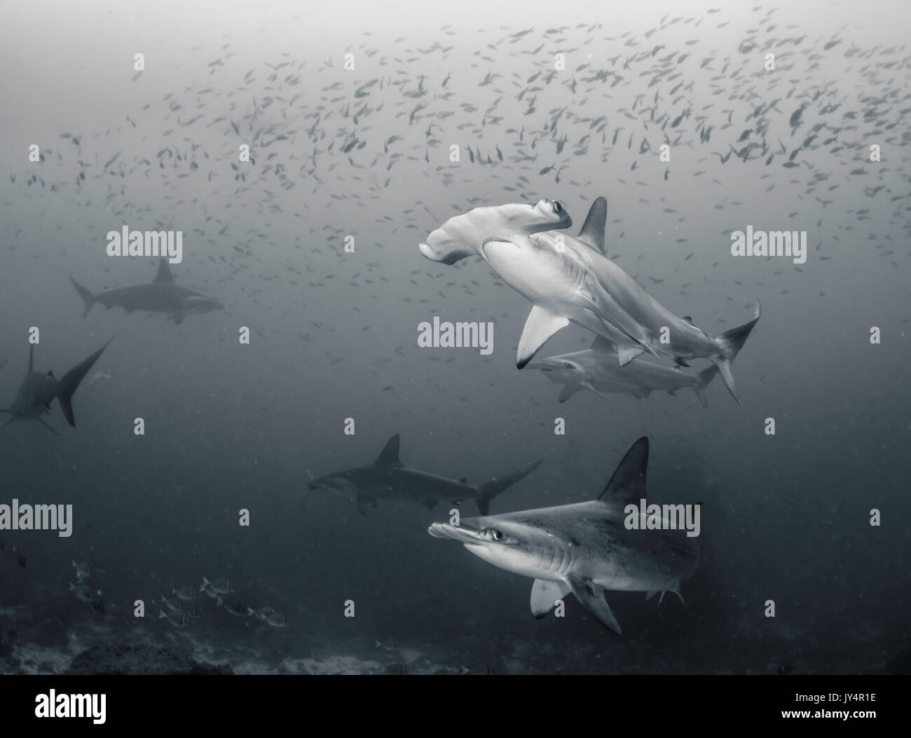 Underwater view of a school of scalloped hammerhead sharks, Darwin Island, Galapagos Islands. - Stock Image