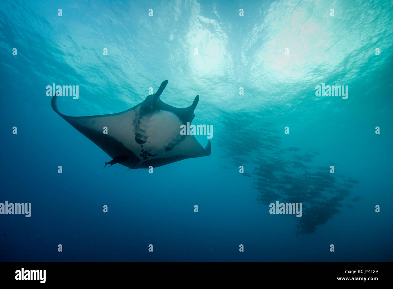 Manta ray and a school of jack fish, Revillagigedo Islands, Mexico. - Stock Image
