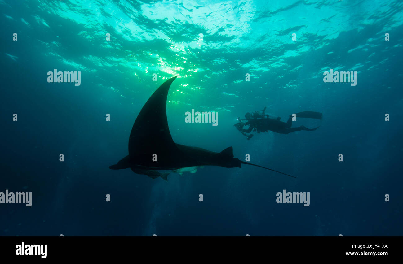 Manta ray and diver in the late afternoon, Revillagigedo Islands, Mexico. - Stock Image