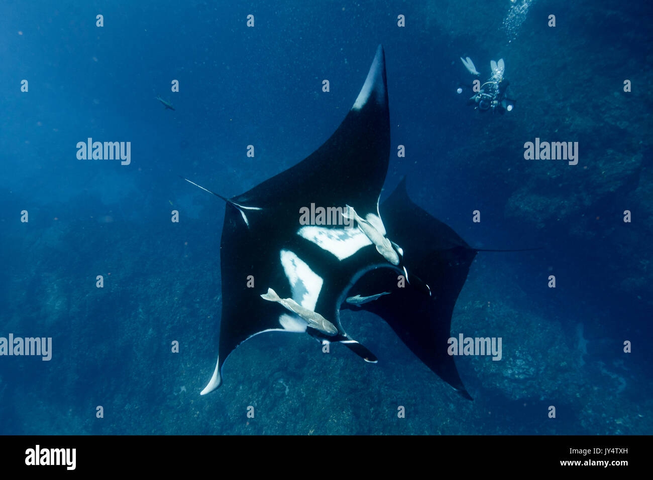 Two oceanic manta rays crossing paths, Revillagigedo Islands, Mexico. Stock Photo