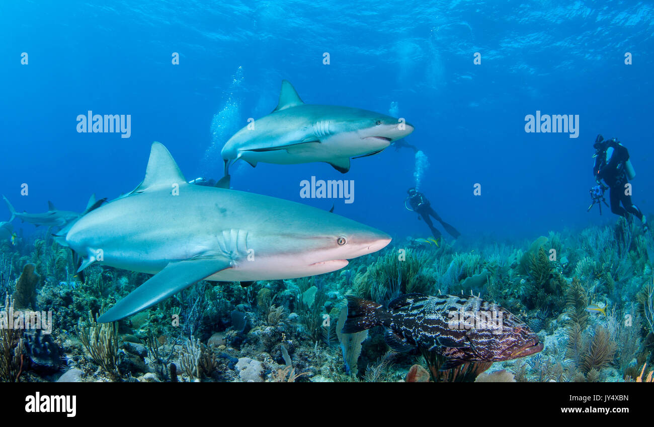 Caribbean reef sharks swimming over the coral reef, Gardens of the Queens, Cuba. - Stock Image