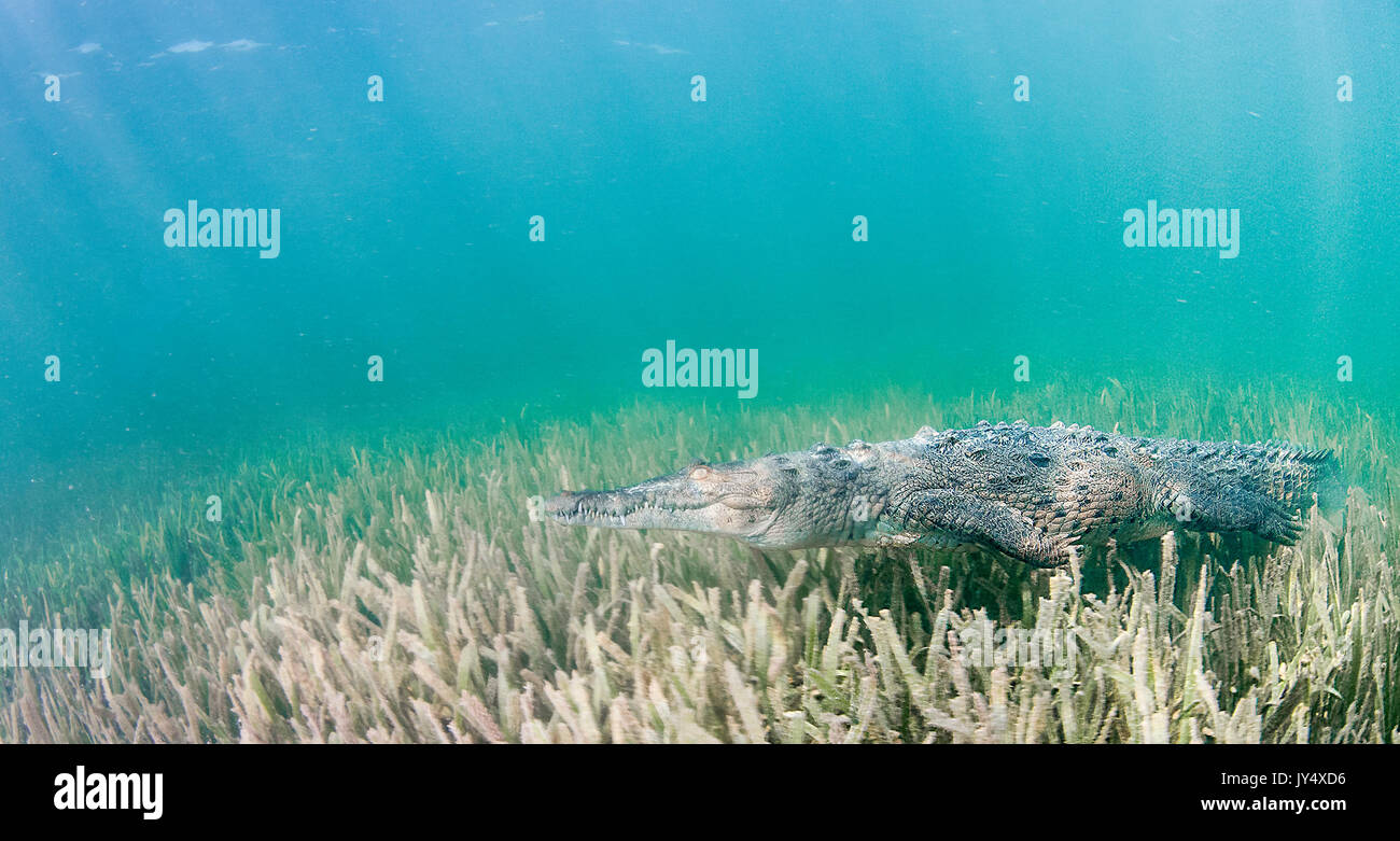 Underwater view of a cuban crocodile walking along the bottom ona bed of sea grass in the mangroves area of the Gardens of the Queens, Cuba. - Stock Image