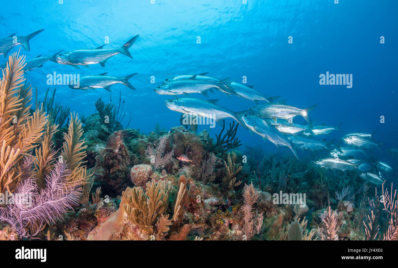 School of tarpon swimming over the coral reef, Gardens of the Queens, Cuba. - Stock Image