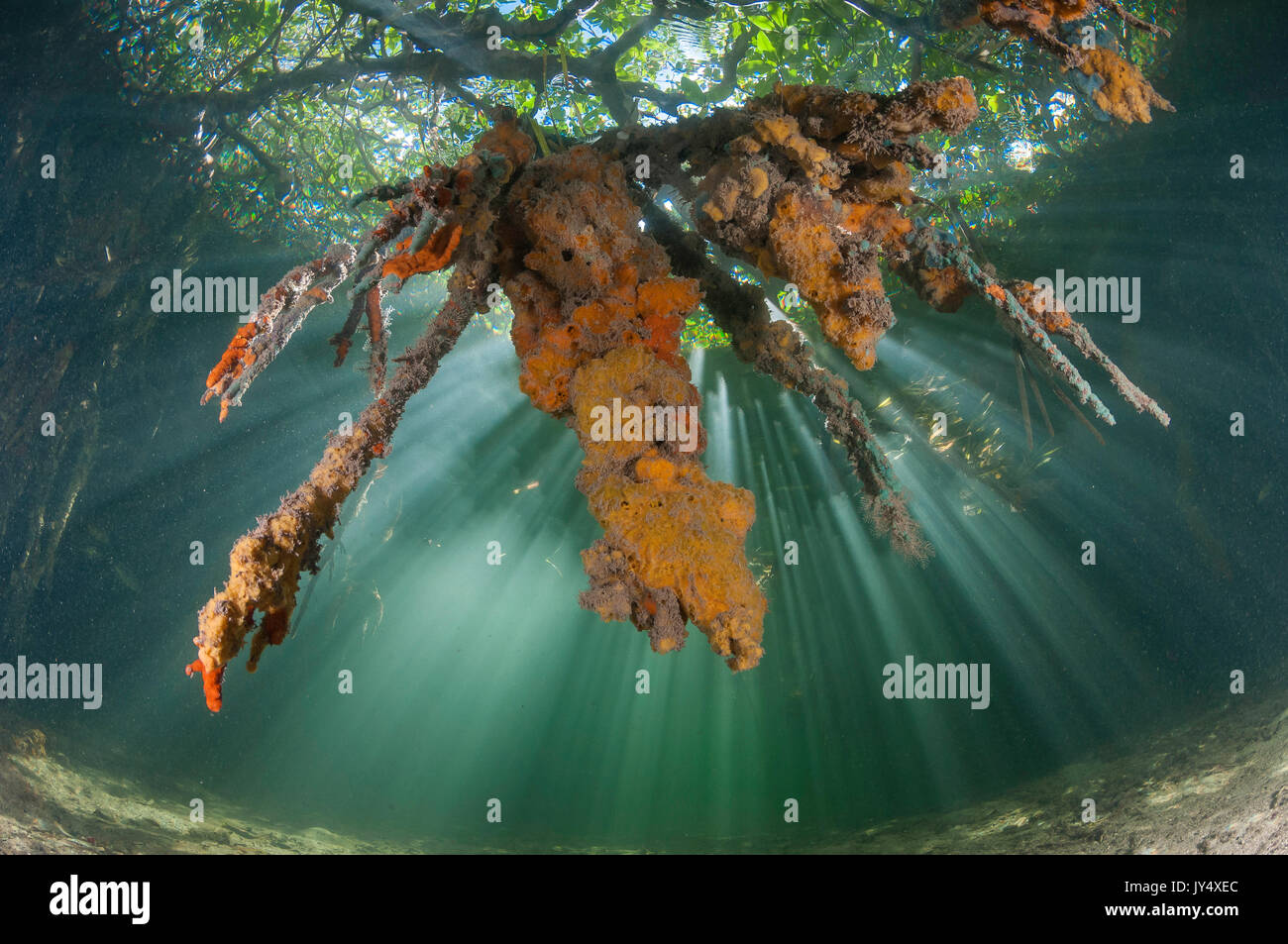 Looking up at soft corals and trees as sun rays filter through the water in the mangrove area of Gardens of the Queens, Cuba. - Stock Image