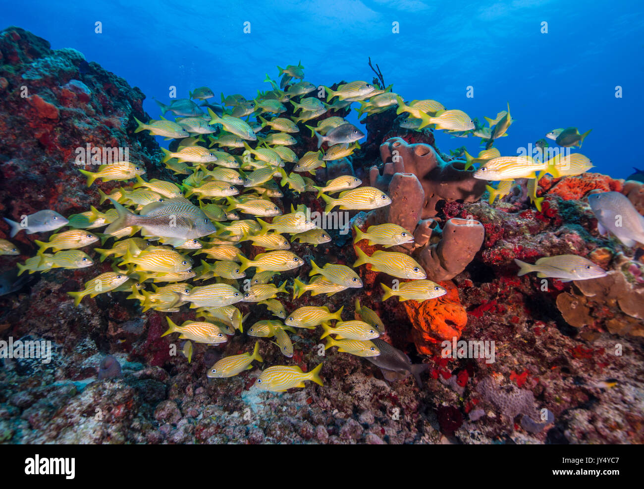 Large school of striped snapper swimming over the coral reef, Cabo Pulmo Marine Reserve, Mexico. - Stock Image