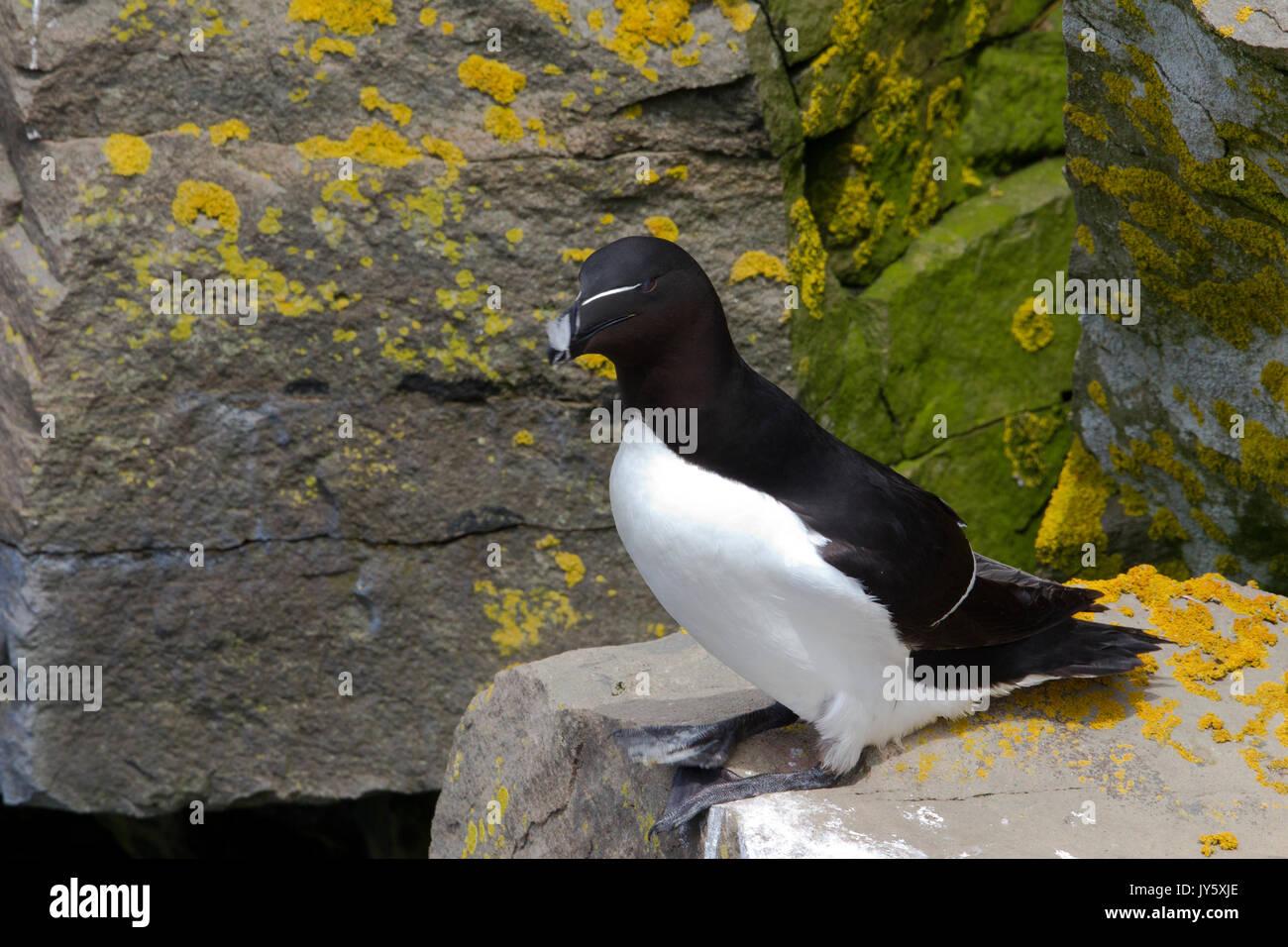 Razorbill perched on cliff Stock Photo