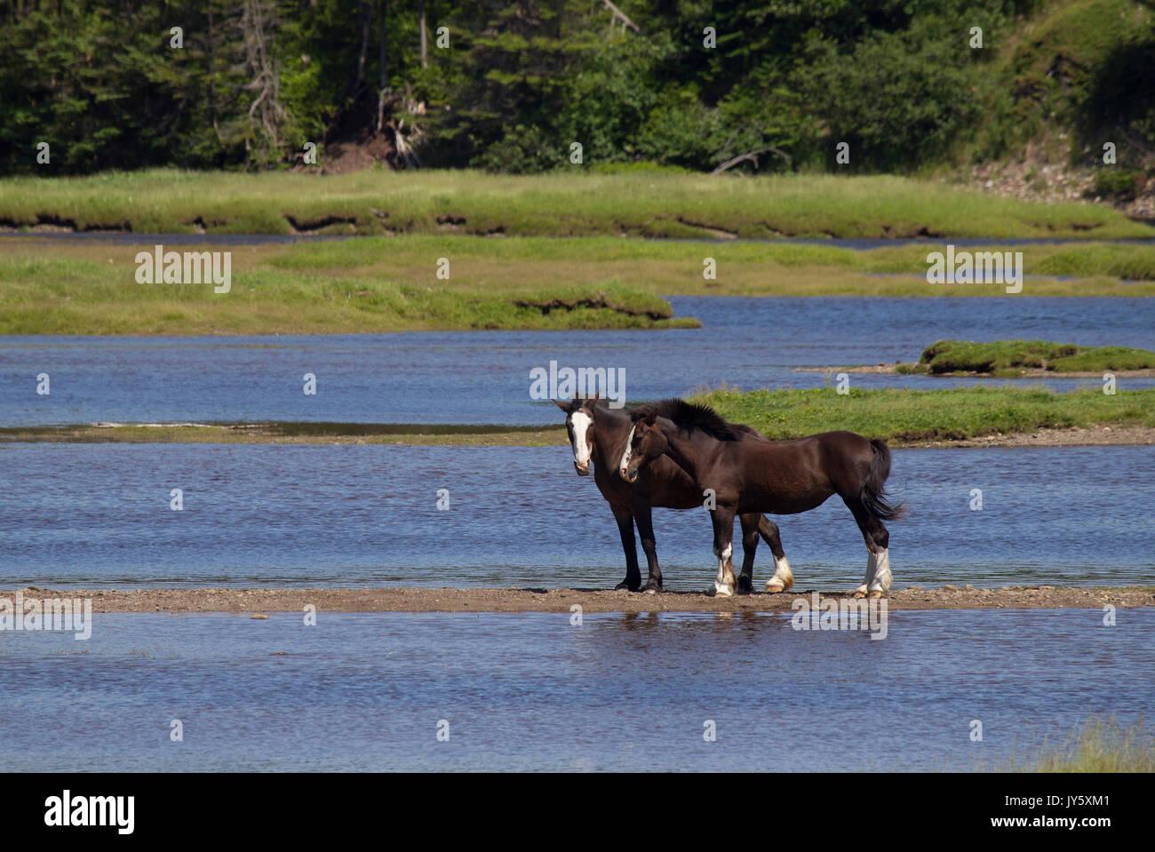 Two Draft Horses - Stock Image