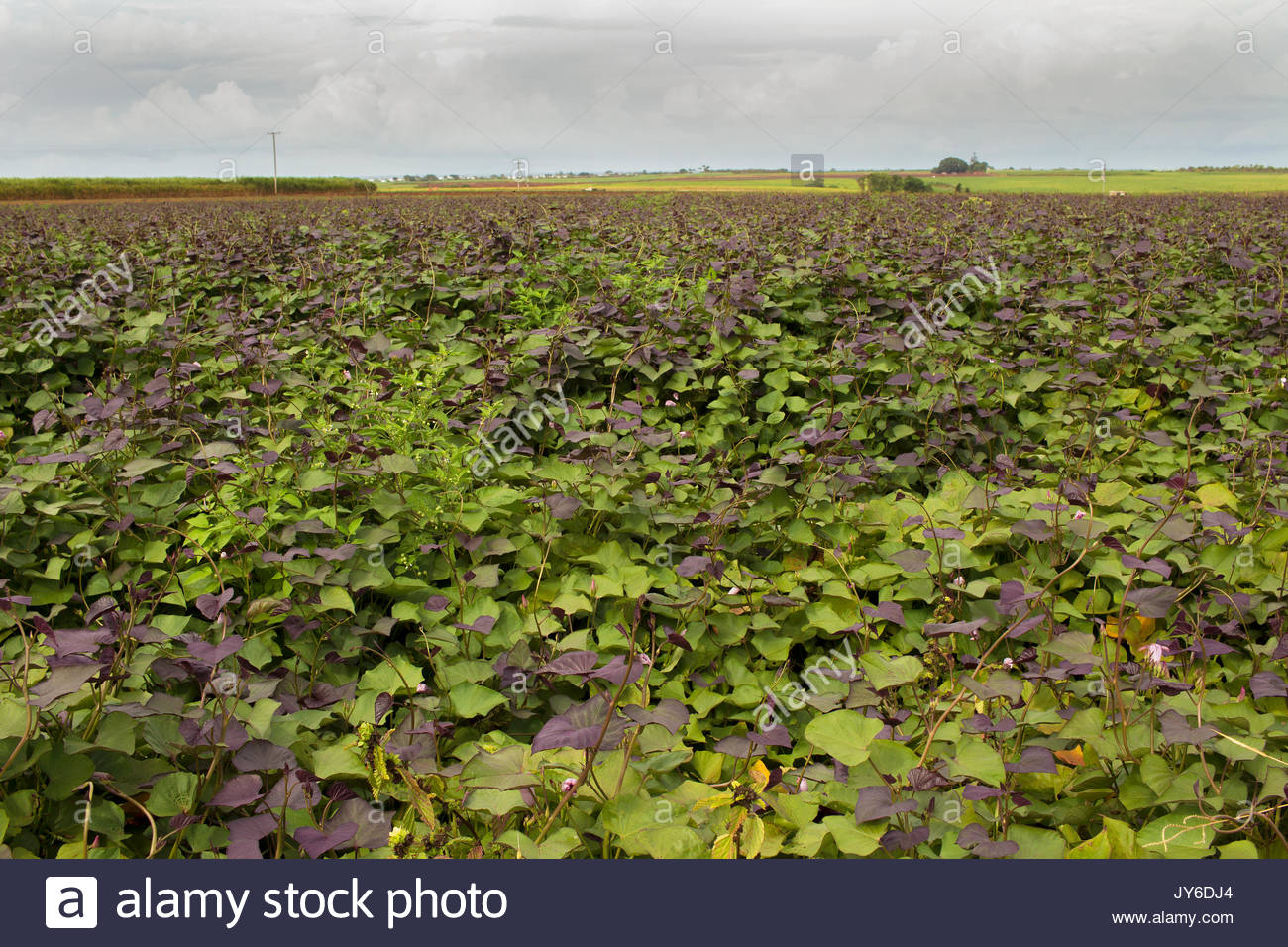 Sweet potato vine with purple leaves. The leaves are reported to contain many health benefits and are eaten as any other green vegetable would be. - Stock Image