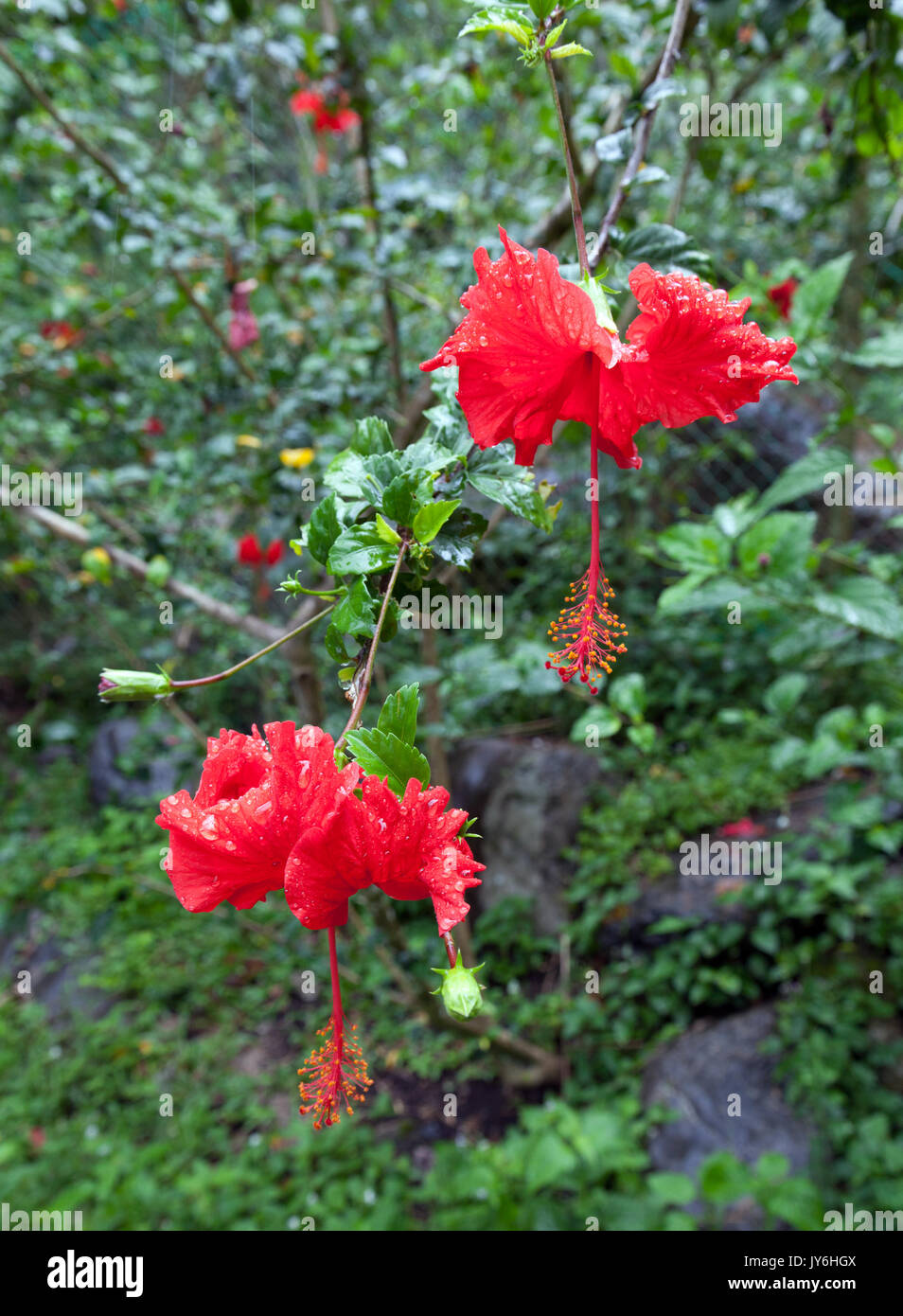 Close up of red flowers in the rainforest of Kinabalu Park, Borneo - Stock Image