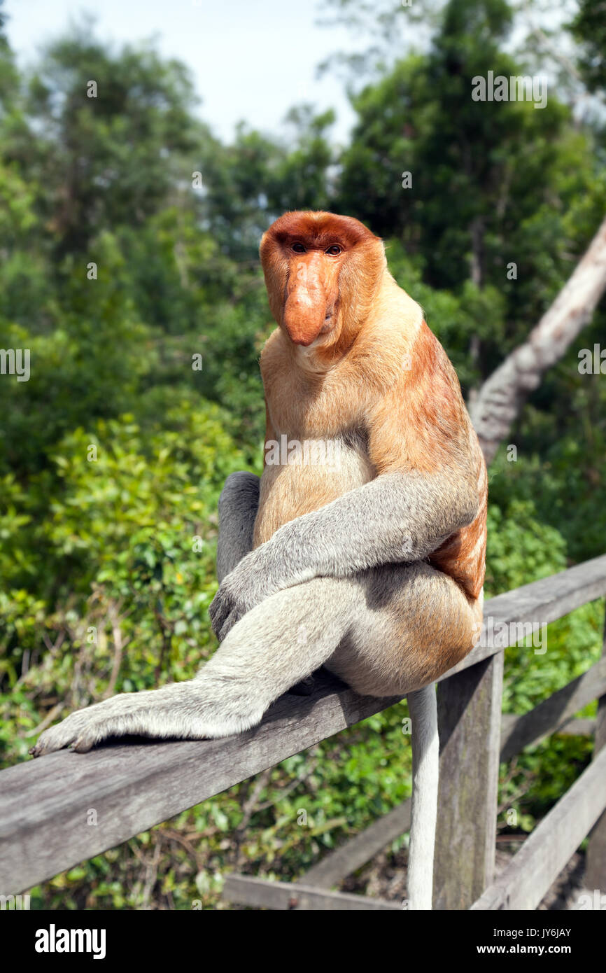 The proboscis monkey (Nasalis larvatus) or long-nosed monkey, known as the bekantan in Indonesia, is a reddish-brown arboreal Old World monkey with an - Stock Image