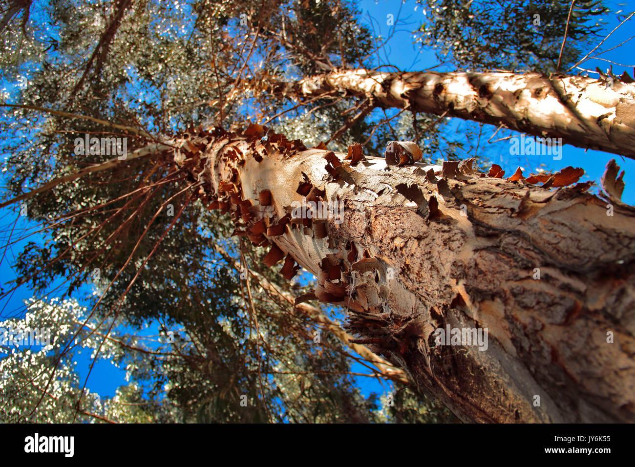 El eucalipto blanco, eucalipto común o eucalipto azul. Eucalyptus globulus es una especie arbórea de la familia de las mirtáceas, originaria del sures - Stock Image
