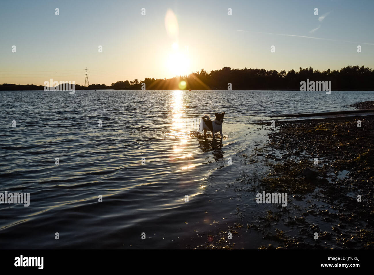 Jack Russell Terrier dog cooling off in a lake on a hot summers evening - Stock Image