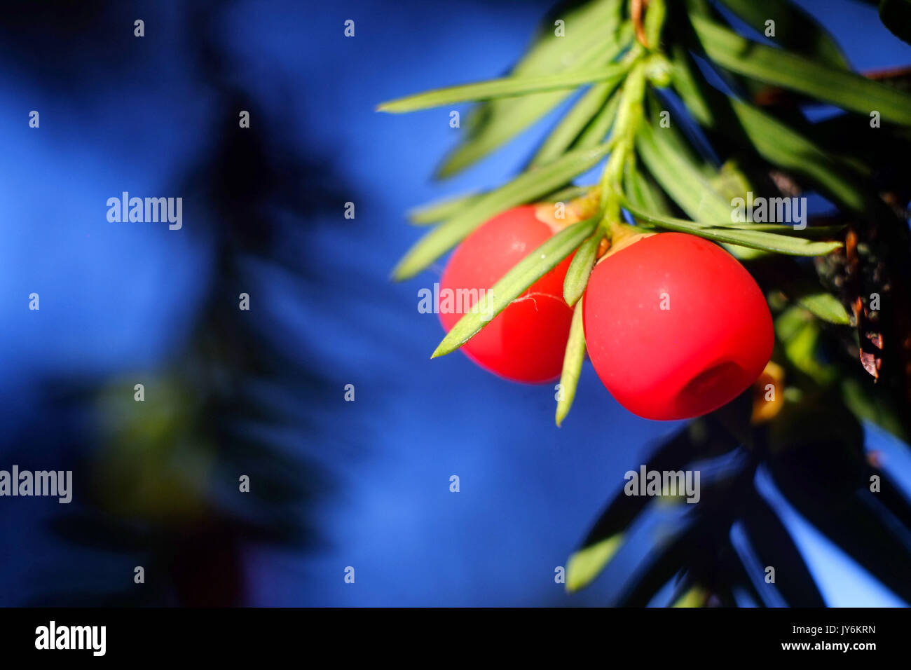 Ripe yew tree berries, or arils, the only edible part of the toxic yew tree. - Stock Image