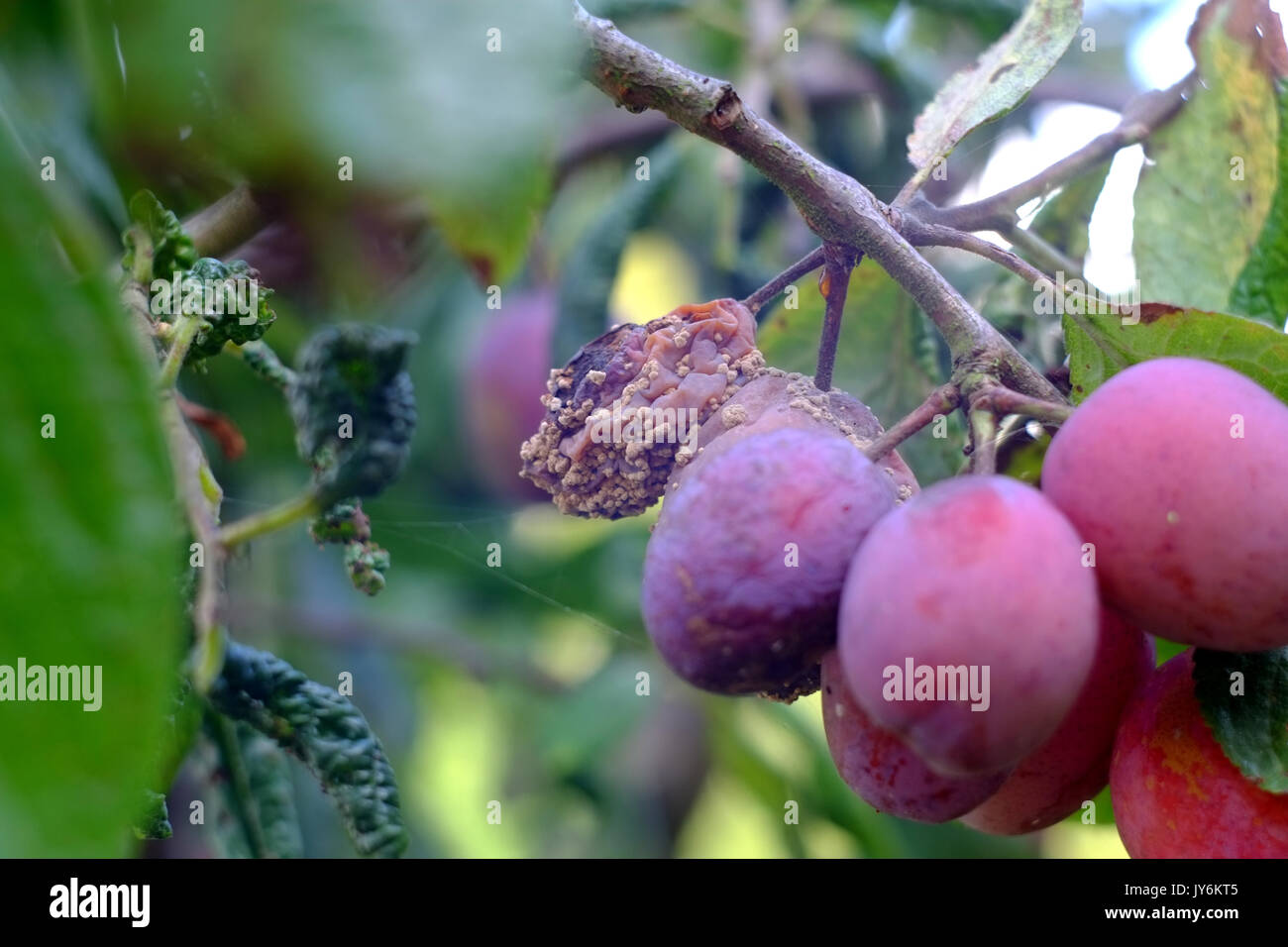 Victoria plums showing signs of disease and fruit rot. - Stock Image