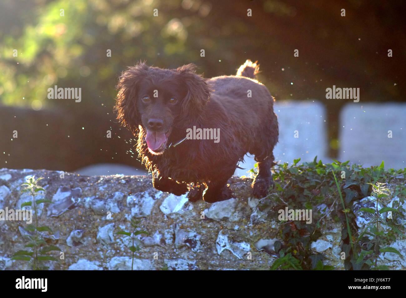 Cocker spaniel jumping over a flint wall - Stock Image