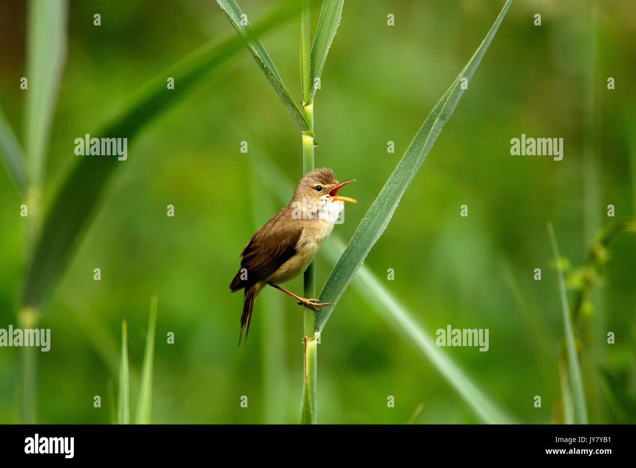 The marsh warbler (Acrocephalus palustris) singing in the bush, Drava River Stock Photo