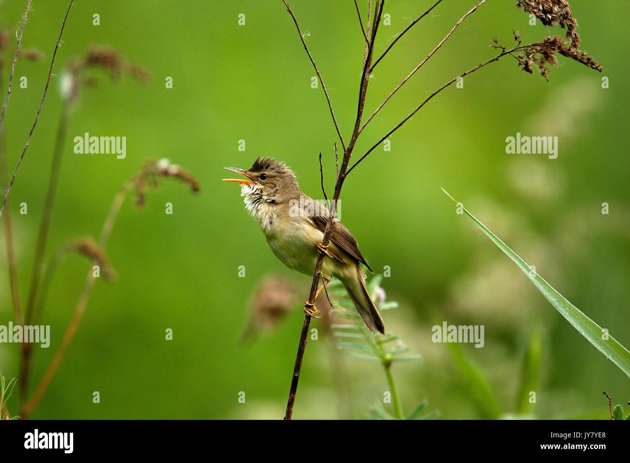 The marsh warbler (Acrocephalus palustris) singing in the bush, Drava River Stock Photo