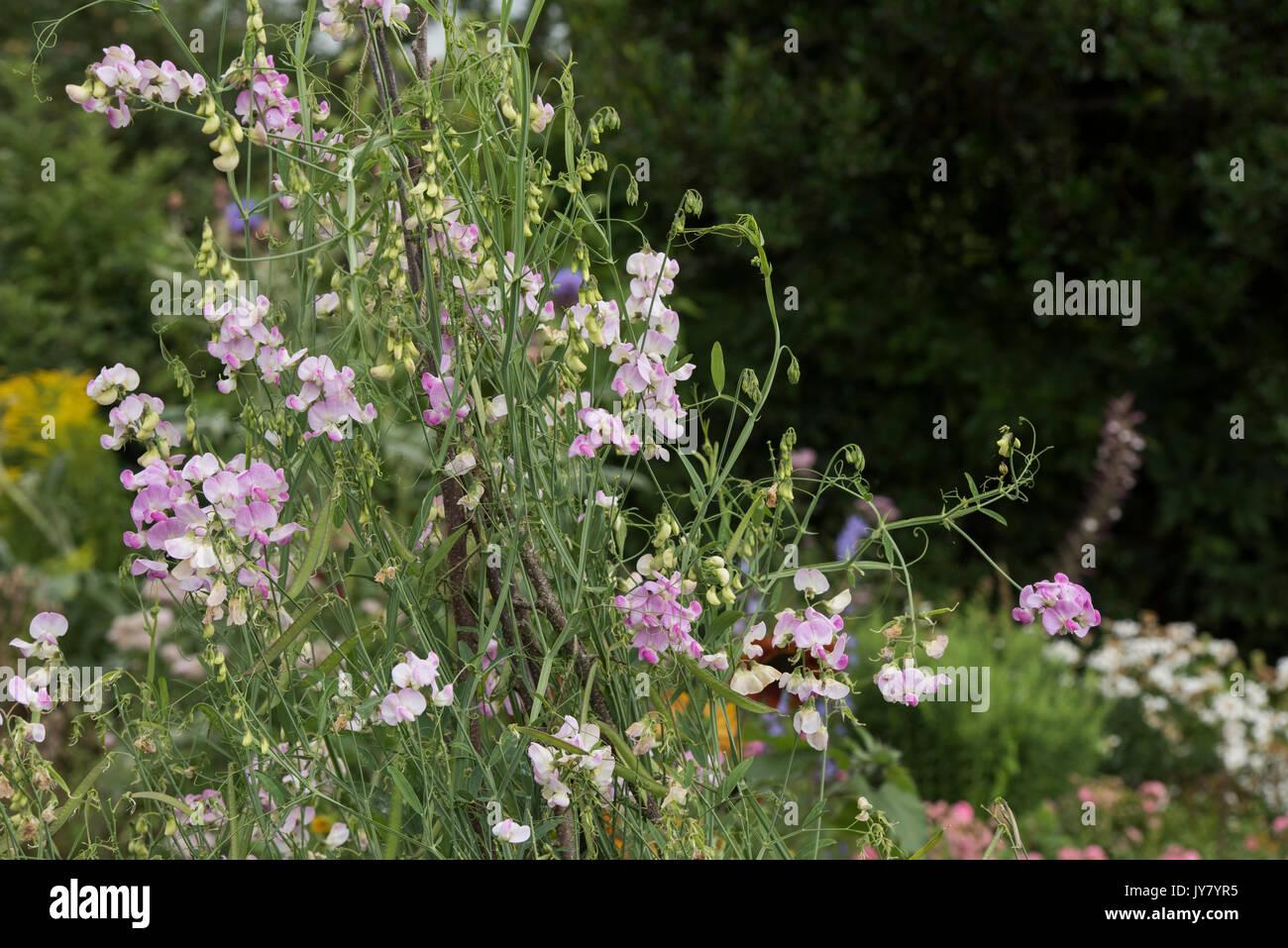 Lathyrus latifolius. Perennial pea or Everlasting sweet pea in an english cottage garden. UK - Stock Image