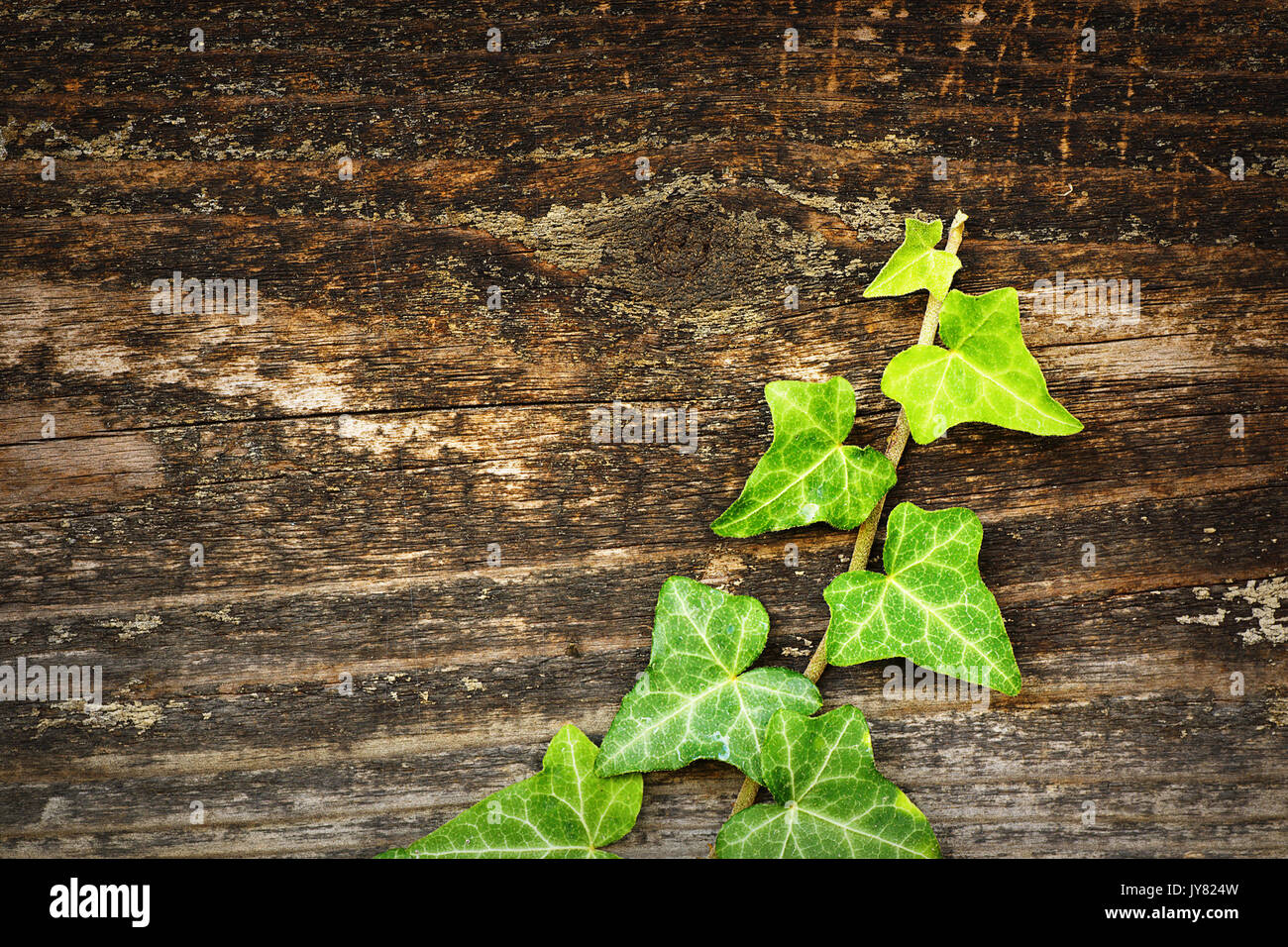 green wild ivy growing on wooden fence, beautiful contrast on natural wood texture - Stock Image