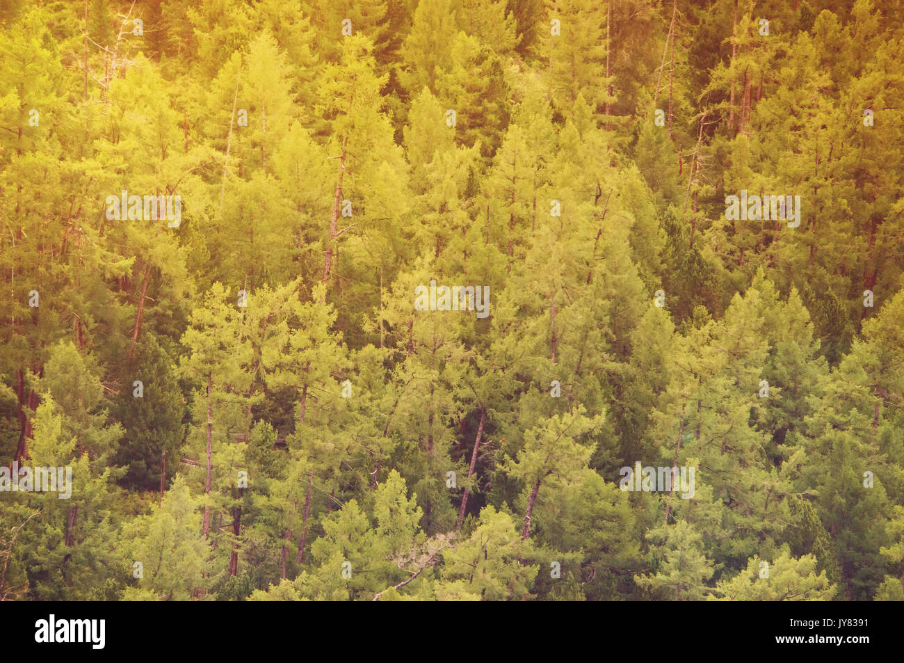 Fir forest view from above - beautiful nature of forest. solar tinting - Stock Image