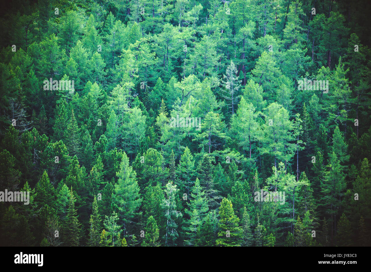 Fir forest view from above - beautiful nature of forest. Healthy green trees in a forest of old spruce, fir and pine trees in wilderness of a national - Stock Image