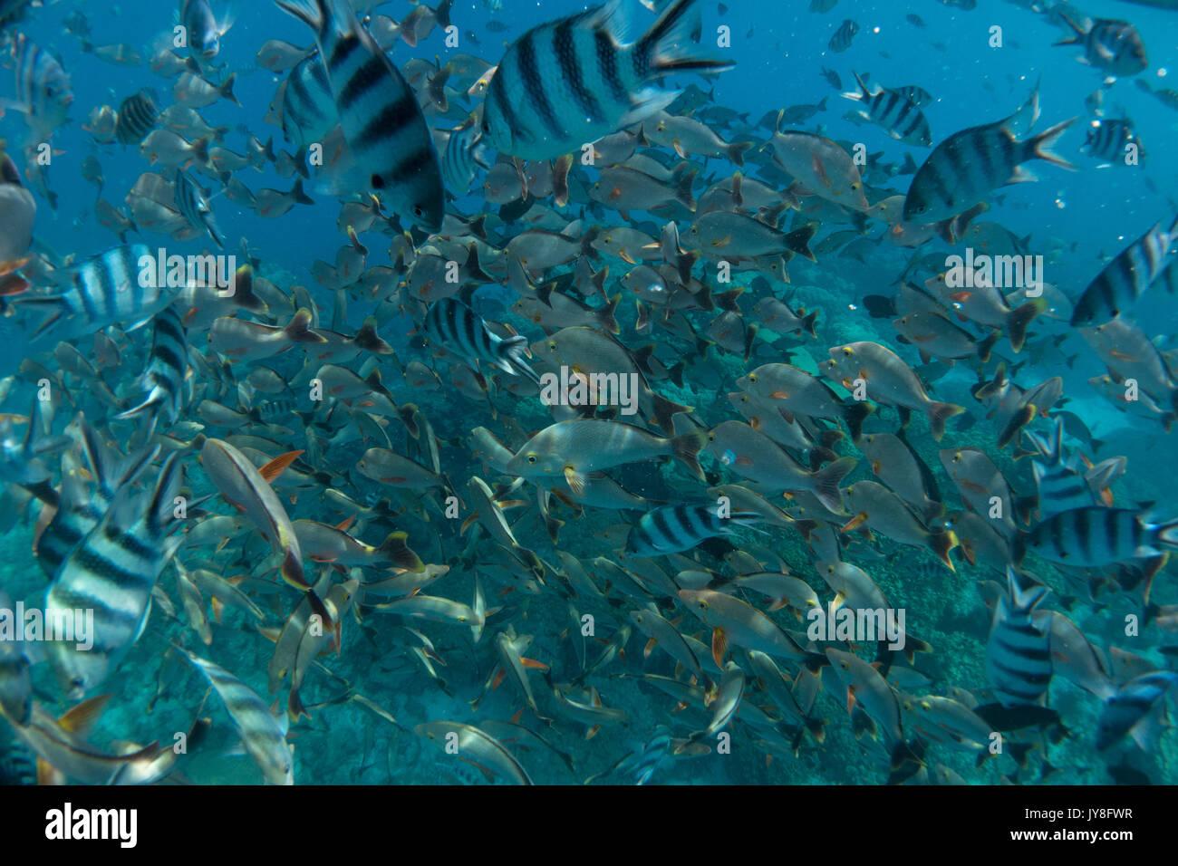 Schools of fish at the Aquarium snorkel spot, Rangiroa Atoll, French Polynesia - Stock Image